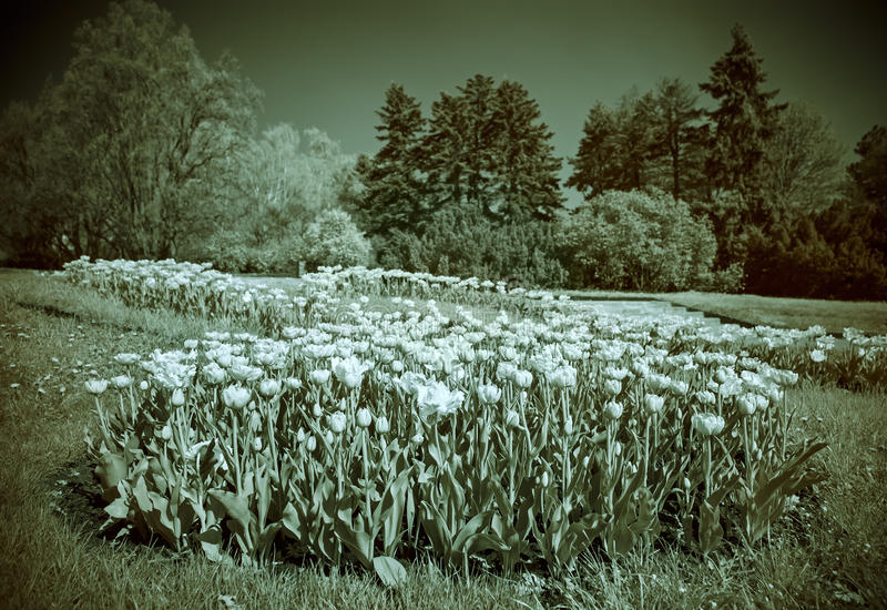 Infrared (IR) landskap med tulpan arkivfoto
