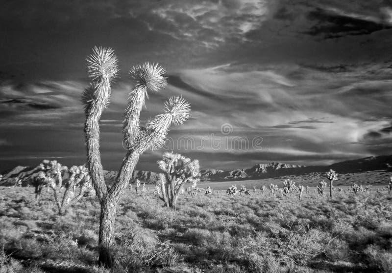 Infrared, Joshua Trees. Dramatic sky, Joshua Tree National Park royalty free stock photography