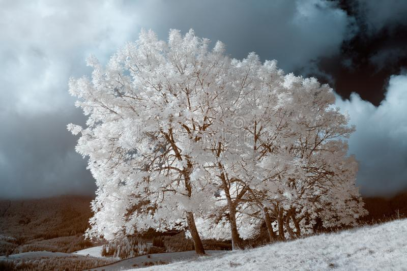 Infrared landscape. White wood middle of the field. sky and dramatic clouds stock photos