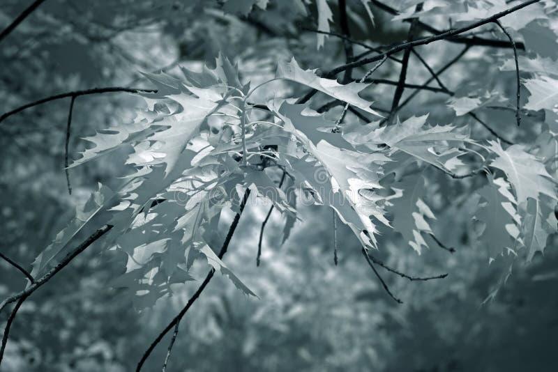 Infrared lasu głębocy liście fotografia stock