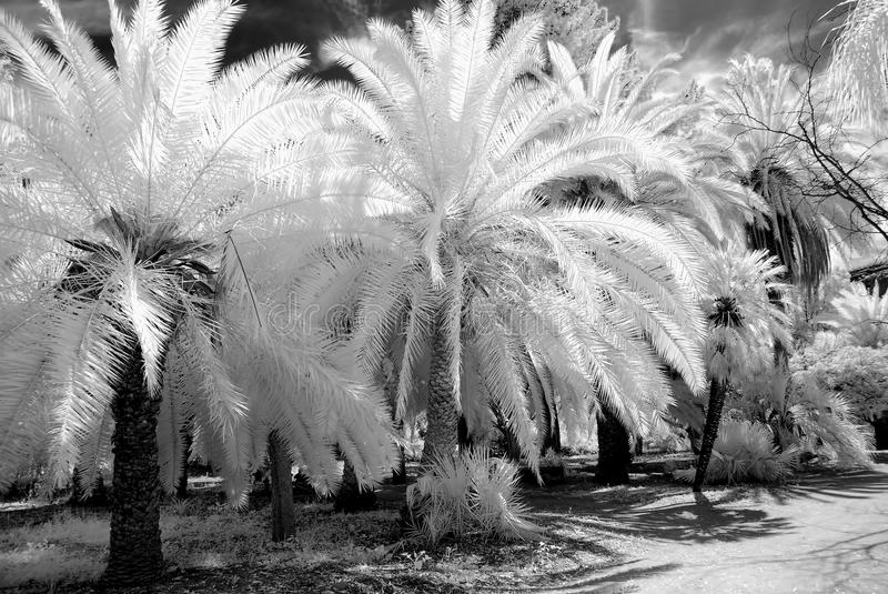 Palm Grove in Infrared. Infrared Monochrome jungle palm grove with palm trees stock image