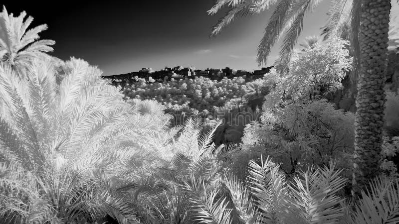 Infrarotbild einer Waldung der Dattelpalmen lizenzfreies stockfoto