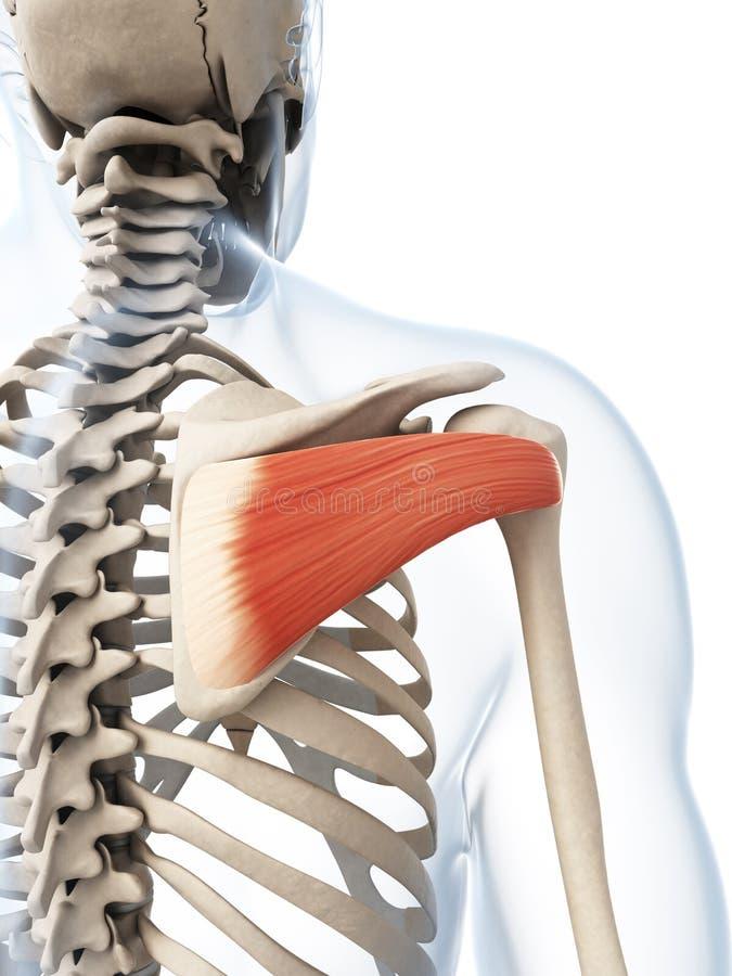 The infraspinatus muscle stock illustration