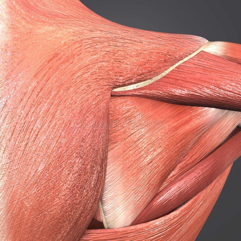 Infraspinatus, Trapezius and Deltoid Muscle stock illustration