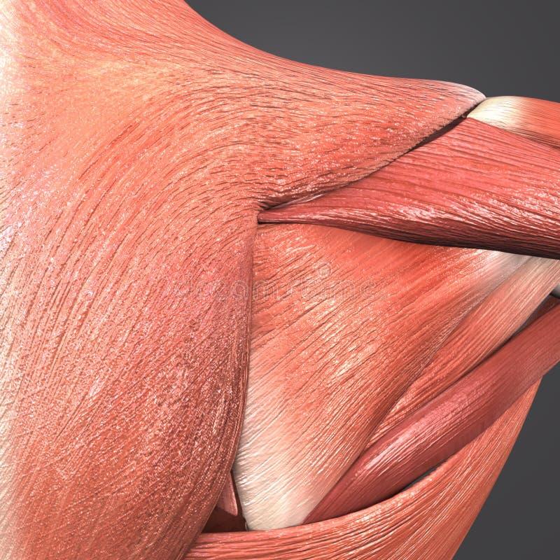 Infraspinatus, Trapezius and Deltoid Muscle vector illustration