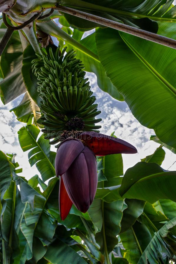 Infructescence accrochant de banane dans une plantation de Tenerifian photos libres de droits