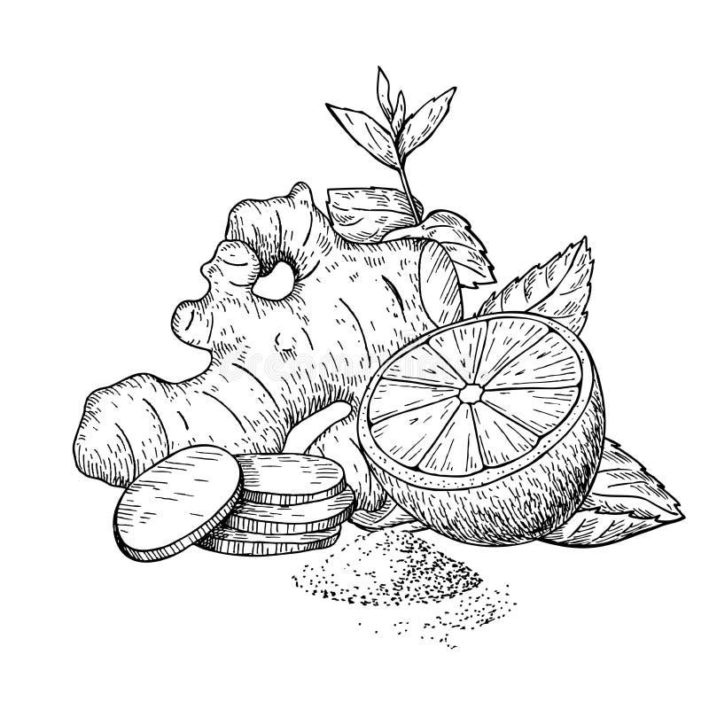 Ingefära-, citron- och mintkaramellvektorteckning Rota, hearbbladet och fruien vektor illustrationer