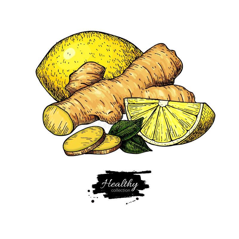 Ingefära-, citron- och mintkaramellvektorteckning Rota hearbbladet, och fruktskivan skissar royaltyfri illustrationer