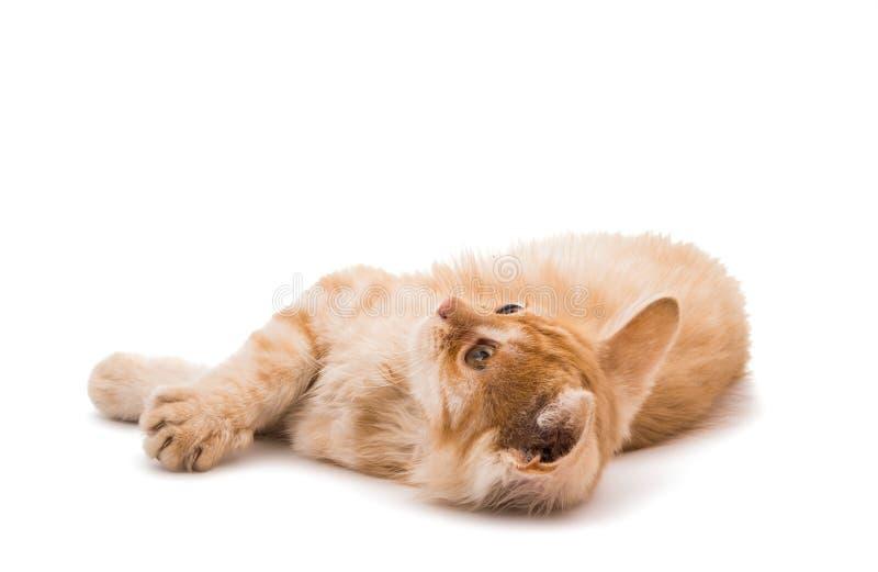 ingefära isolerad kattunge royaltyfri fotografi