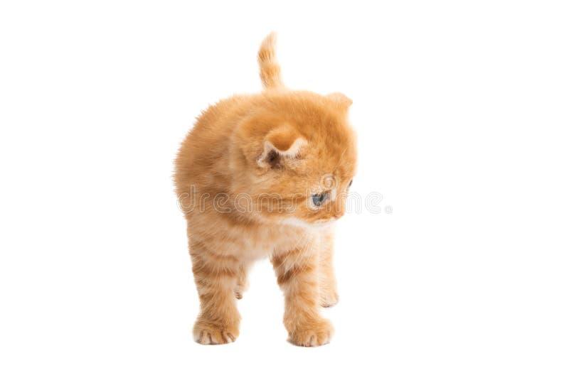 ingef?ra isolerad kattunge arkivbilder