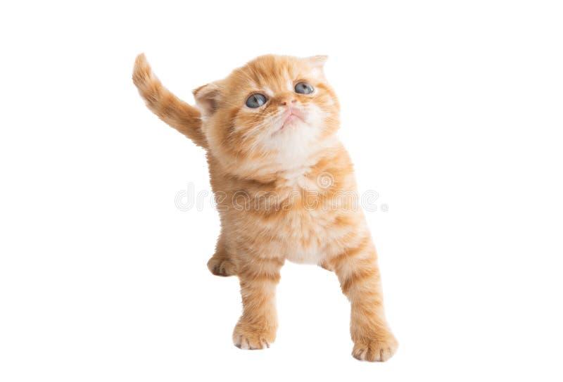 ingef?ra isolerad kattunge arkivbild