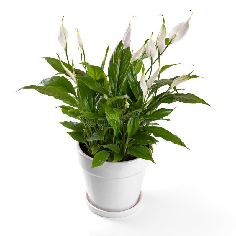ingemaakte die spathiphyllumbloem op wit wordt geïsoleerd royalty-vrije stock afbeelding