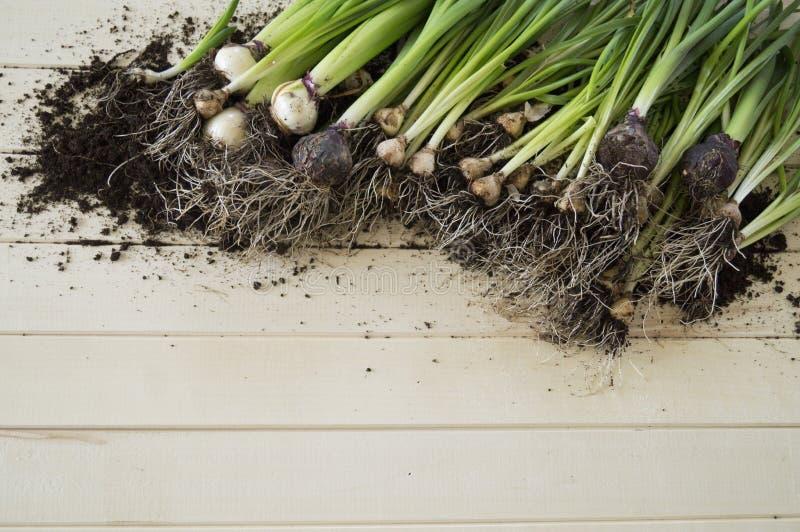 Ingemaakte gele narcissen met bollen voor de lente het planten royalty-vrije stock afbeelding