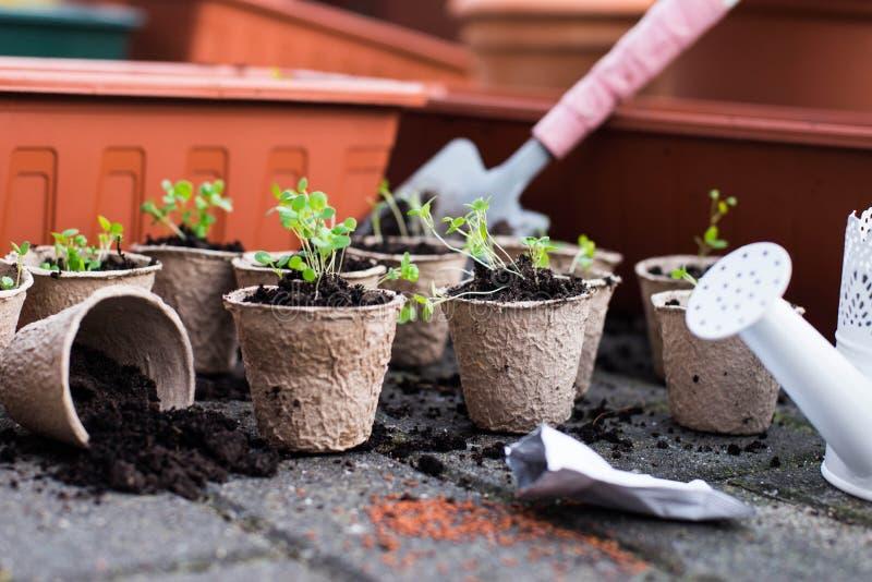 Ingemaakte zaailingen die in de biologisch afbreekbare potten van het turfmos hierboven groeien van stock foto's
