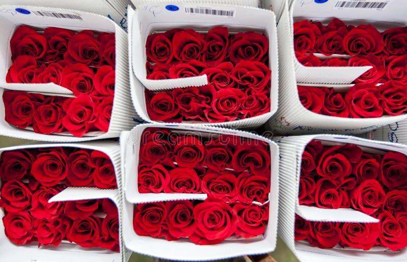 Ingepakt rozen klaar voor de uitvoer bij de Hacienda-de Rozenaanplanting van La Compania dichtbij Cayambe in Ecuador royalty-vrije stock afbeeldingen