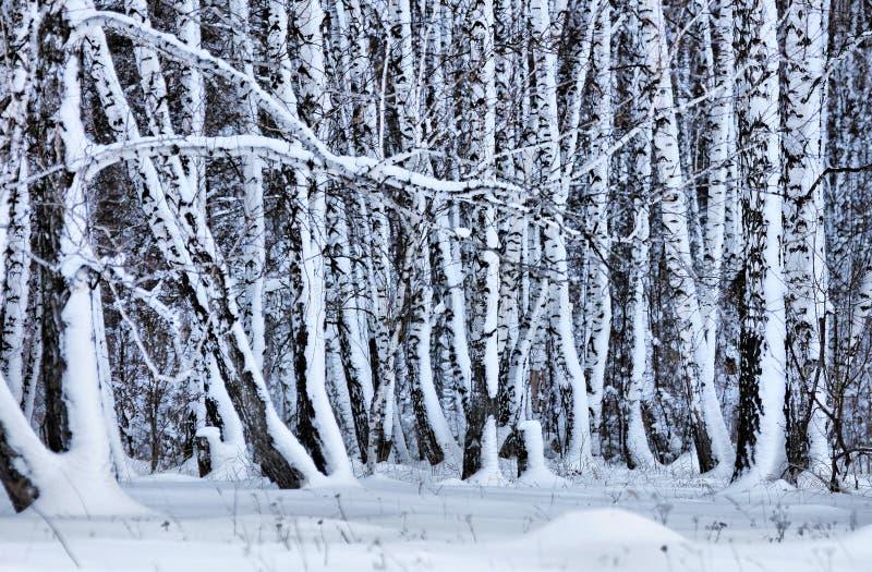 Ingesneeuwd berkbos in de winter stock foto