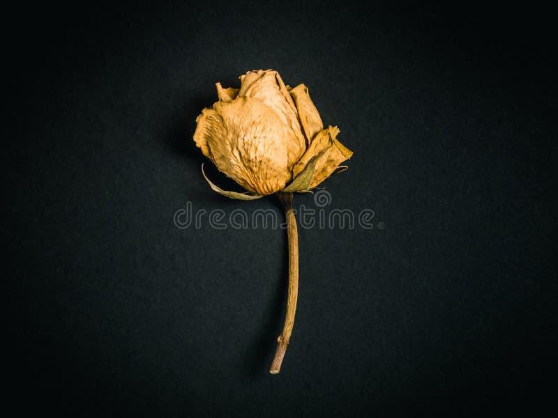 Ingiallisca di rosa Fiore secco immagini stock libere da diritti