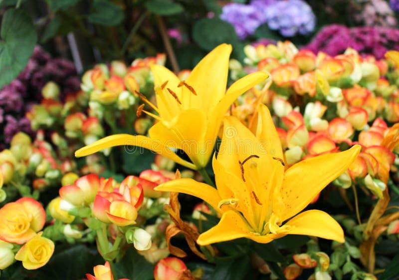 Ingiallisca lilly il fiore nel giardino fotografia stock libera da diritti