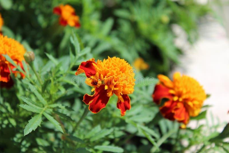 Ingiallisca un fiore rosso fotografia stock