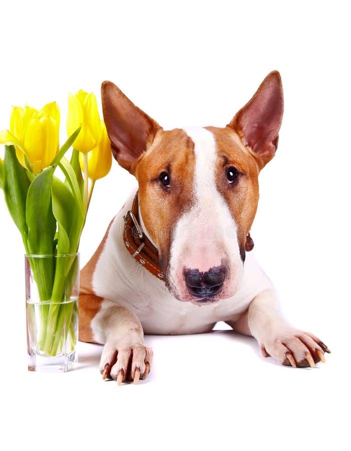Retrato de bull terrier con los tulipanes amarillos. imagen de archivo libre de regalías