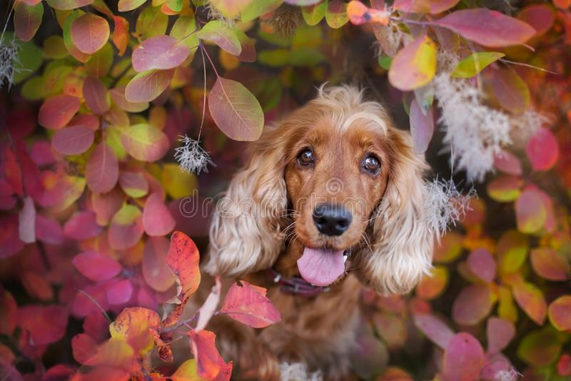 Inglés cocker spaniel en otoño imagenes de archivo