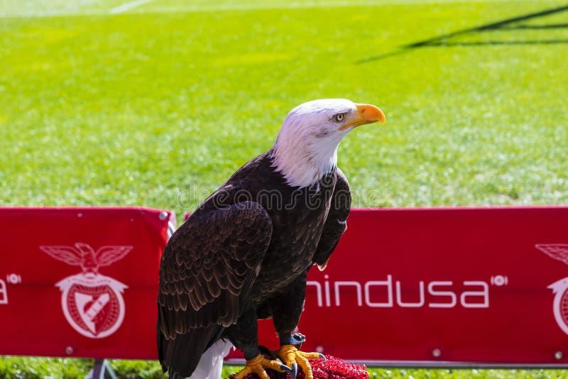 Inglés de Aguia Vitria: Victory Eagle la mascota del club portugués S L Benfica fotos de archivo