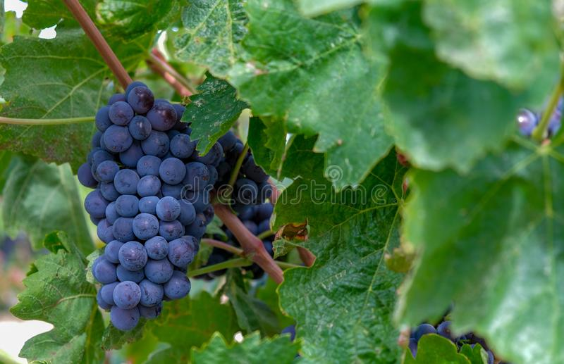Ingle bunch of ripe red wine grapes hanging on a vine on green leaves stock photos