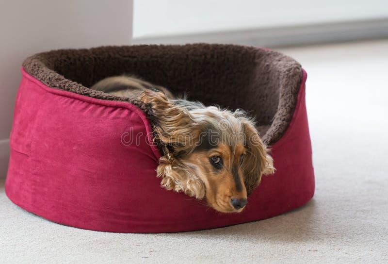 Inglese cocker spaniel che si trova nel letto del cane fotografia stock libera da diritti