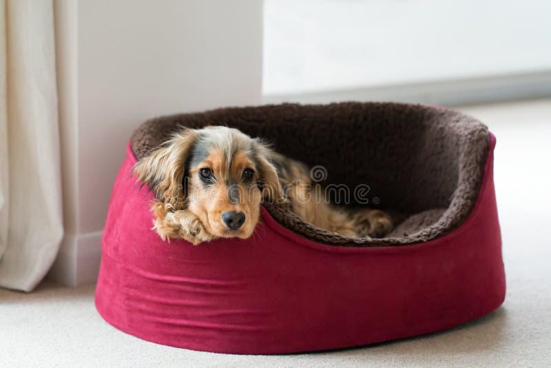 Inglese cocker spaniel nel letto del cane fotografie stock