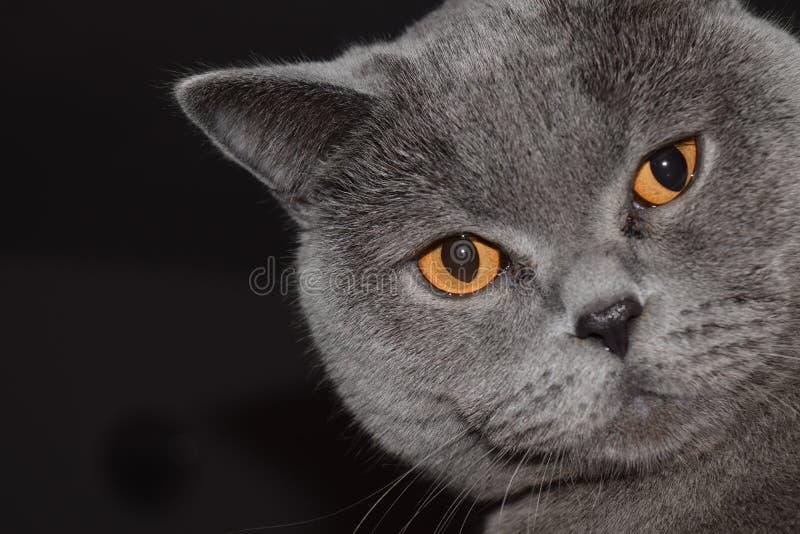 Ingleses Shorthair - gato foto de stock