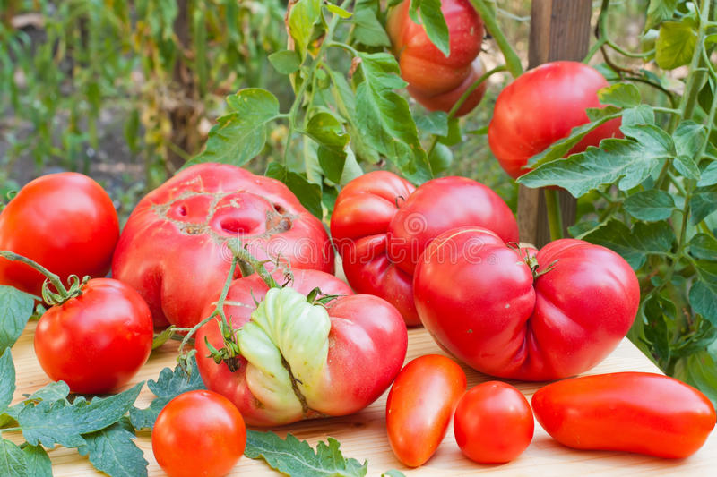 Inglorious tomatoes stock image