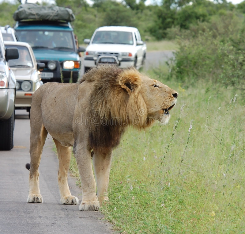 Ingorgo stradale dell'Africa: Leone africano fotografia stock