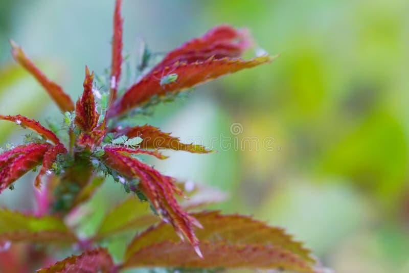Ingrandimento estremo - afidi verdi su una pianta fotografia stock libera da diritti