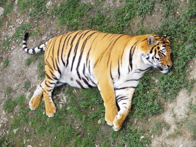 Ingrassi la tigre fotografie stock