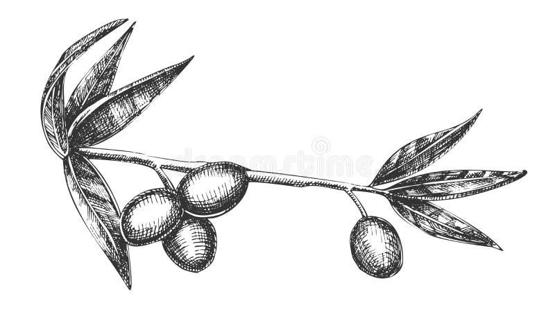 Ingrediente cosmético Olive Branch Vintage Vector ilustración del vector