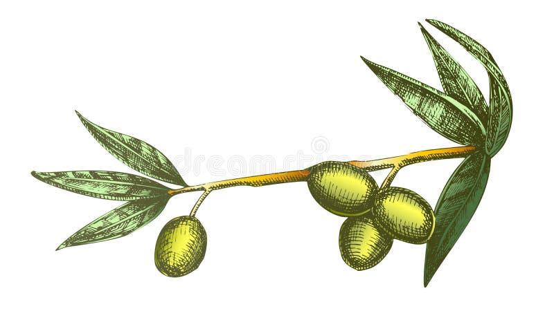 Ingrediente cosmético Olive Branch Vintage Vector del color libre illustration