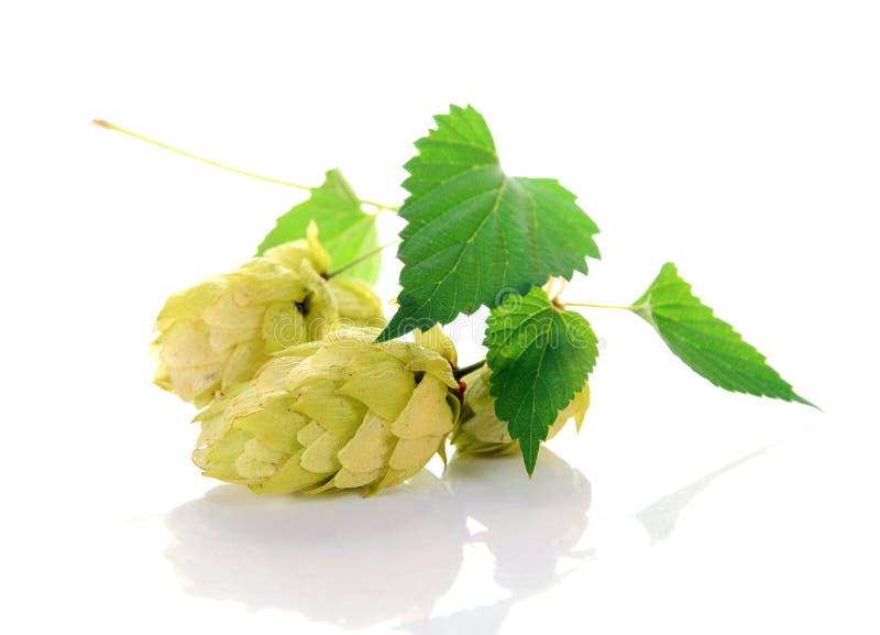 Ingrediente del luppolo per birra immagine stock