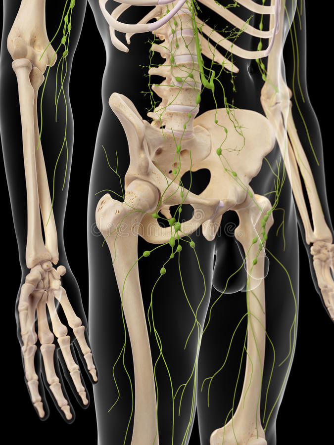 The inguinal lymph nodes stock illustration