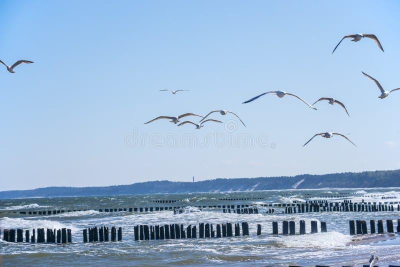 Inguini nel Mar Baltico con i gabbiani fotografie stock libere da diritti