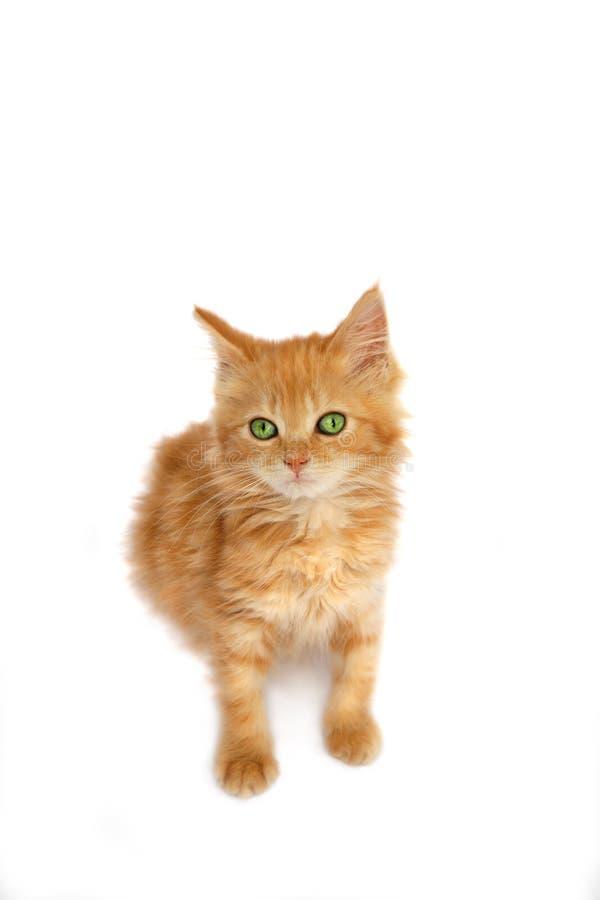 Ingwer-Kätzchen lizenzfreies stockbild