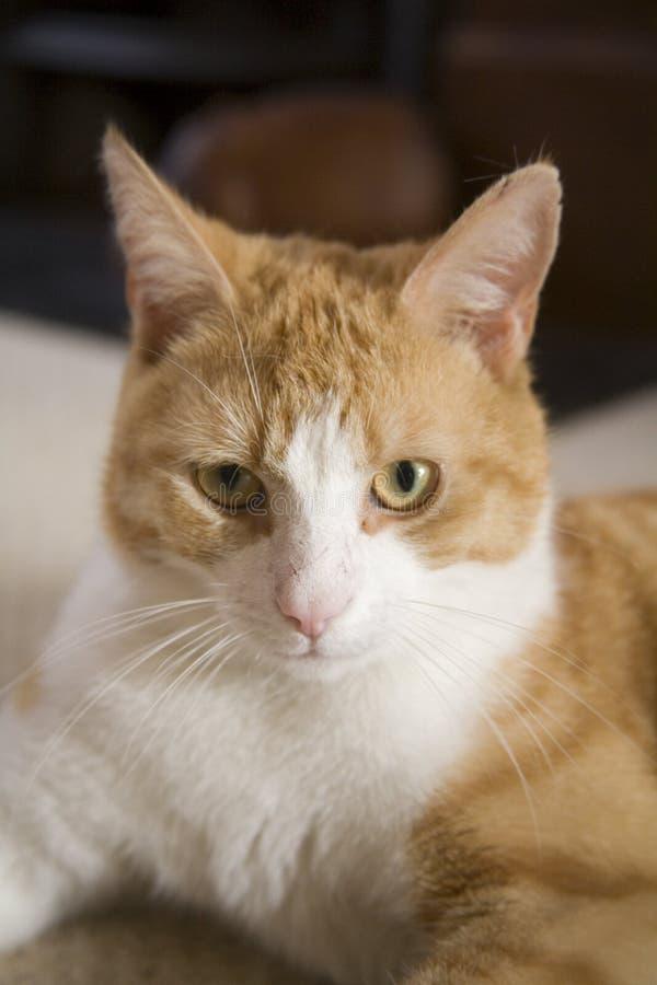 Ingwer und weiße Katze lizenzfreies stockbild