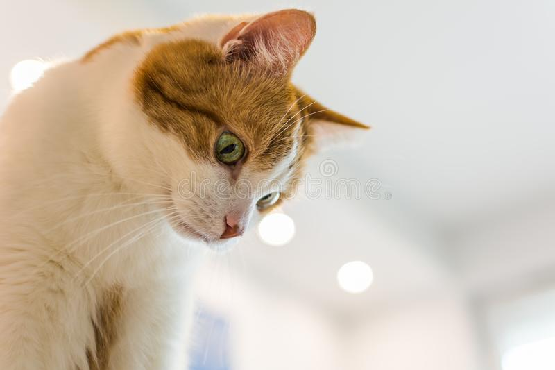 Ingwer und weiße Katze, die unten schauen stockbild