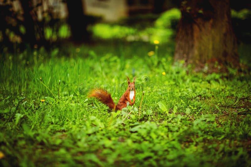 Ingwereichhörnchen auf Park des grünen Grases im Frühjahr Eichhörnchen, das auf Rasen sitzt? verlierenSie Zusammensetzung lizenzfreies stockfoto