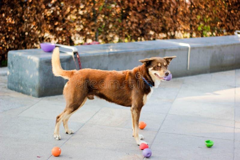 Ingwerhund spielt mit Bällen und wartet auf seinen Meister stockfotos