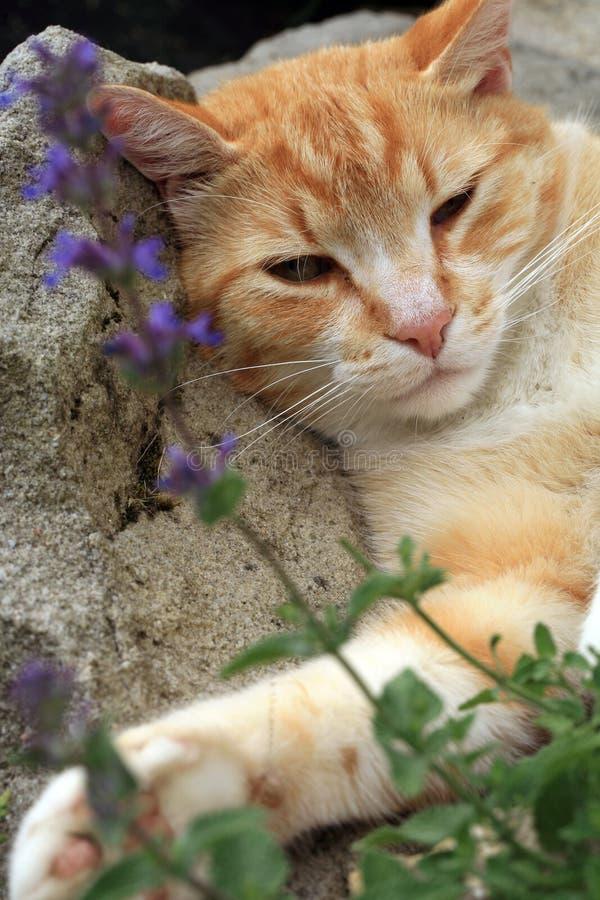 Ingwerkatze unter Einfluss der Katzenminze stockfoto