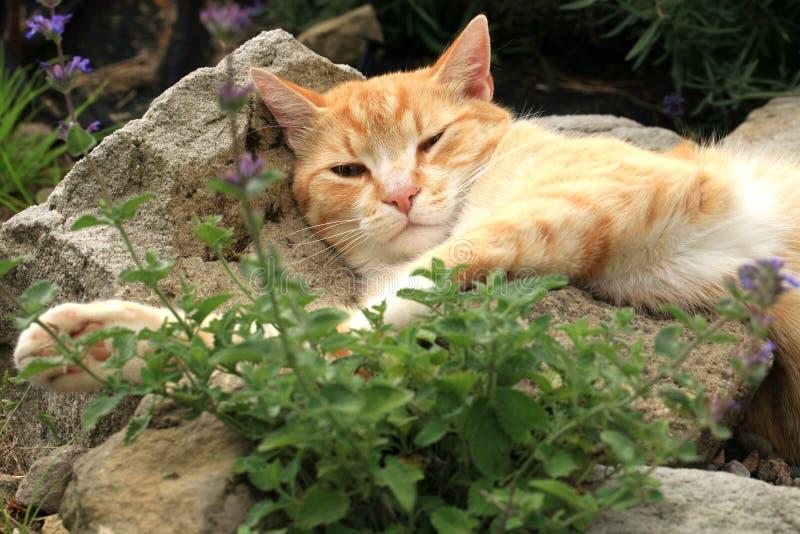 Ingwerkatze unter Einfluss der Katzenminze stockfotografie