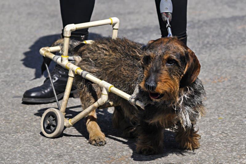 Inhabilite el perro en una silla de ruedas en la calle fotografía de archivo libre de regalías