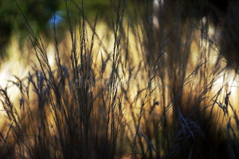 Inheemse de zomergrassen stock foto's
