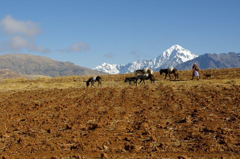 Inheemse vrouwelijke landbouwer met ezels, Peru stock foto's