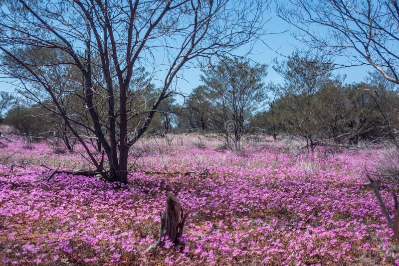 Inheemse wildflowers roze eeuwige madeliefjes die van westelijk Australië in het binnenland groeien stock afbeeldingen